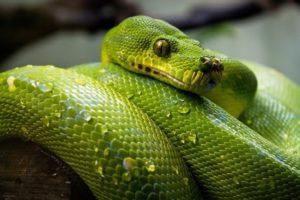 green pet snake