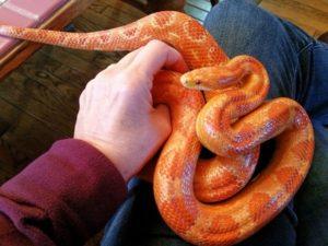 orange pet snake